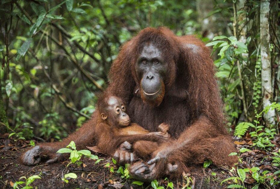 A female orangutan in Indonesia